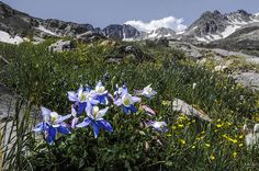 5 great wildflower locations in colorado - Colorado Columbines in American Basin