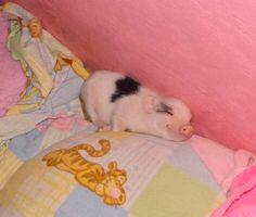 az micro mini pig
