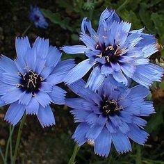 50+ Cupids Dart Blue Flower Seeds , Under The Sun Seeds