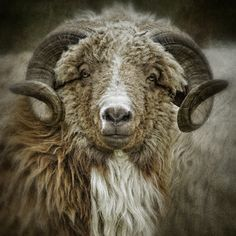 (Photograph copyright 2015 by Dan Routh) Navajo ram. Sheep Art, Sheep Wool, Farm Animals, Animals And Pets, Cute Animals, Beautiful Creatures, Animals Beautiful, Sheep Breeds, Sheep And Lamb