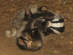 All sizes | Two badger cubs playing | Flickr - Photo Sharing!
