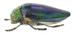 Jewel Beetle - Sternocera pulchra waterhouse