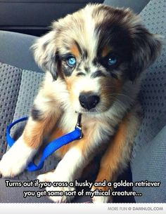 If You Cross A Husky And A Golden Retriever - Damn! LOL