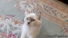 Steward Ragdoll Kittens