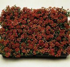 Pase Seeds - Alyssum Wonderland Series Copper Annual Seeds, $3.29 (http://www.paseseeds.com/alyssum-wonderland-series-copper-annual-seeds/)