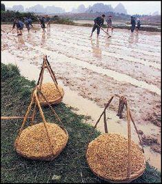 20080316-agri-rice-seedlings nollls.jpg