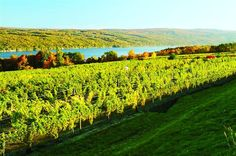 There are 117 wineries in the Finger Lakes region of New York, like this one.
