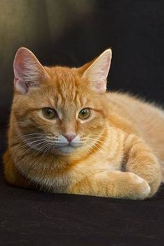 Wouldn't mind an orange tabby is it was this regal looking