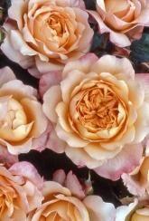 Rose (Hybrid Tea) Samaritan - Plants