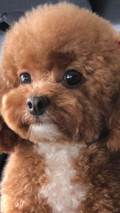 Toy Poodle Puppies, Cute Puppies, Cute Dogs, Dogs And Puppies, Toy Poodles, Doggies, Poodle Mix, Bulldog Puppies, Cute Baby Animals