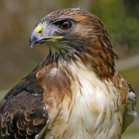 Falconry Scotland - Falconry Services in the Borders and Lothians of Scotland