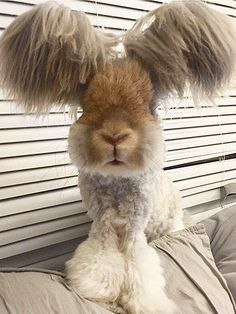 Wally is a trendsetter for rabbits everywhere. Wally the Angora Rabbit Looks like an Adorable Poodle-Bunny Hybrid … Cute Funny Animals, Funny Animal Pictures, Cute Baby Animals, Animals And Pets, Random Pictures, Cute Baby Bunnies, Funny Bunnies, Angora Rabbit, Angora Bunny