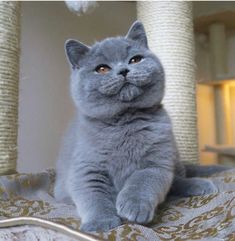 66 Ideas cats and kittens grey british shorthair for 2019 Cute Cats And Kittens, I Love Cats, Kittens Cutest, Ragdoll Kittens, Funny Kittens, Bengal Cats, White Kittens, Sphynx Cat, Kitty Cats