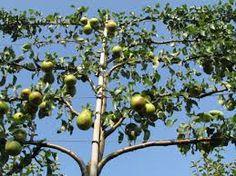 Afbeeldingsresultaat voor appel leiboom