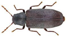 Hemicoelus fulvicornis