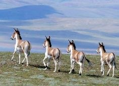 Beautiful Tibetan wild Donkeys, which are under the first class protection in China, running on a prairie in the Changtang National Nature Reserve in northern Tibet.  http://chinatibet.people.com.cn/6867443.html