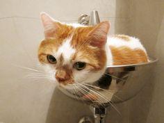 トイレにどんこ Soft Kitty Warm Kitty, Kitty Kitty, Hello Kitty, Cute Cats And Dogs, I Love Cats, Cats And Kittens, Living With Cats, Pretty Cats, Neko