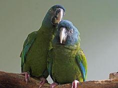 Ara testa blu - Blue-headed Macaw -  Propyrrhura couloni