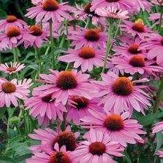 Echinacea MAGNUS Live Coneflower Plant Perennial Long Lasting Summer Bloom Flowers Attract Butterflies by dannypleasantgardens on Etsy Herbaceous Perennials, Hardy Perennials, Echinacea Purpurea Magnus, Low Maintenance Landscaping, Lavender Roses, Black Eyed Susan, Live Plants, Garden Planning, Dried Flowers