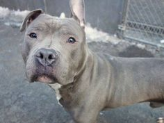 SAFE 3/13/15 --- Manhattan Center   BEN - A1028751  MALE, GRAY, PIT BULL MIX, 3 yrs STRAY - STRAY WAIT, NO HOLD Reason STRAY  Intake condition UNSPECIFIE Intake Date 02/24/2015   https://www.facebook.com/photo.php?fbid=969378739741672