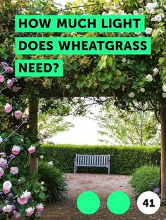 How Much Light Does Wheatgrass Need?. Wheatgrass are the small, young saplings that germinate from wheat grains. These young sprouts have rich nutritional content and are widely used in their fresh form like bean sprouts. Wheatgrass juice is also used by people as a home remedy for a number of ailments and is also an ingredient in baby foods. It is...
