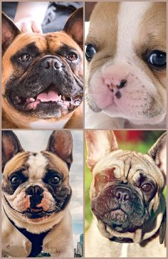 French Bulldogs make outstanding guard dogs and also will inform their individuals to approaching complete strangers, yet it's not their style to bark without cause. They can be protective of their home and also family members and some will try to protect both with their life. Look Below For Some Really Good Recommendations On Dogs Adopting a dog is advisable. They make perfect pets and they are incredibly loving. To ensure that your dog is healthy and happy does, however, try taking some  French Bulldog Shedding, Adoption, Pets, Funny, Animals, Style, Foster Care Adoption, Swag, Animales