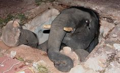 """Nicht nur Kleintiere stecken zuweilen an ungewöhnlichen Orten fest: Dieser Baby-Elefant war in einem thailändischen Dorf in der Provinz Rayong in einen Brunnen gefallen. Schon bald rückte ein großes Aufgebot an Freiwilligen an, um den """"Kleinen"""" zu retten - doch erst mit einem Bagger, der das Brunnenloch vergrößerte, konnte der Elefant nach drei Stunden freigeschaufelt werden."""