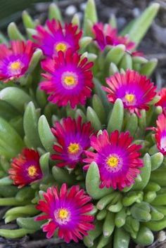 Jewel of the Desert Garnet Ice Plant is a low growing, tough groundcover with excelent color. These spread rapidly, are water-wise once established, and offer interest in color and texture. Can be sheared back in order to control their spill onto pavement, and their root systems can help knit and stabilize soil such as on hillsides.