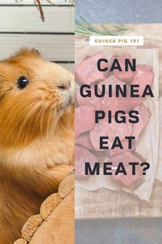 Can Guinea Pigs Eat Meat | what precautions you need to take I how to care for pet guinea pigs I pet baby guinea pig care I small animal care I guinea pig information I information on pet guinea pigs I what to do with pet guinea pigs I things to know about pet guinea pigs I pet guinea pig tips I care tips for pet guinea pigs I small pet homes I guinea pig cages I #guineapigseatmeat  #guineapigs #smallpets Guinea Pig Food, Baby Guinea Pigs, Guinea Pig Care, Guinea Pig Information, Pigs Eating, Pet Home, Animal Care, Things To Know, Cute Animals