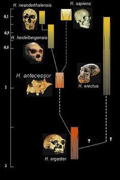 Relaciones filogenéticas de las diferentes especies de Homo