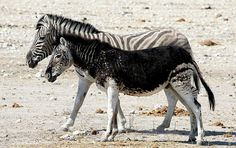 """Sometimes, zebras are born with some strange stripe patterns.  These zebras are called black zebras. These photos all illustrate the variety possible in the stripes or, in the bottom photo, """"spots"""" of the zebra."""