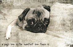A Pugs love is the sweetest love there is. Black and white. Pug relaxing on a couch.