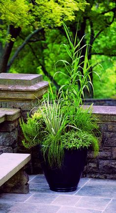 ~~Grasses as Container Plants | sticking to a limited color palette, with the main focus on varied textures and forms is eye-catching! Tall, bamboolike Arundo donax var fronted by Iris ensata 'Variegata', Fountain grass (Pennisetum alopecuroides 'Desert Plains'), sedges Carex ciliato-marginata 'Treasure Island' and C. albula 'Frosty Curls', and shrubby rosemary and Chamaecyparis obtusa 'Snowkist' | Garden Design~~