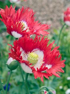 Red Perennials, Danish Flag, Beneficial Insects, California Poppy, Garden Plants, Poppies, Beautiful Flowers, Flora, Seeds