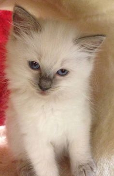 Ragdoll Kitten - Spoil your kitty at www.coolcattreehouse.com