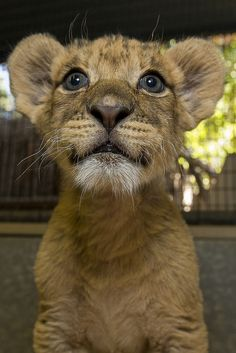 Growing by Leaps and Pounds: Lion Cubs Thriving at San Diego Zoo Safari Park
