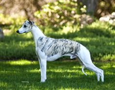 Starline Whippets - In The Spotlight: Ch. Starline's Sovereign