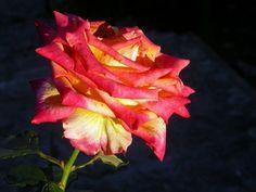 Consejos para plantar esquejes de rosas durante el otoño - Ideas para jardines y decoración