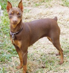 Education for the Miniature Pinscher need to be consistent. The Miniature Pinscher is eager to discover and obeys commands relatively quickly, however it also can be stubborn.