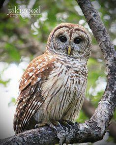 barred owl, Everglades National Park, Florida   Jaki Good Miller