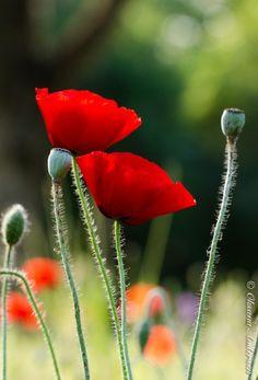 Poppies By Oksana Andersen Love Flowers, My Flower, Flower Power, Beautiful Flowers, Poppy Flowers, Flanders Poppy, Blue Garden, Flower Images, Red Poppies