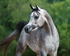 Bellagio RCA - Egyptian Arabians - Arabians Ltd.