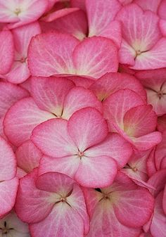 Hydrangea..yes you will be inmy garden one day !