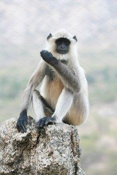 Indian Monkey by Kailash Kumar on Indian Monkey, Indian Animals, States Of India, Animal 2, Art, Craft Art, Kunst