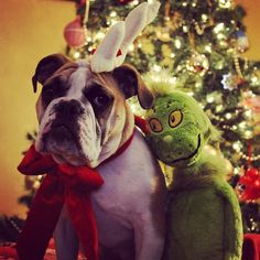 """John & Stephanie say, """"Cici is our six month old English Bulldog. She is all ready for Santa's arrival!"""""""