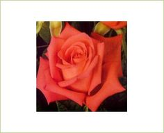 Movie Star - Standard Rose - Roses - Flowers by category Coral Roses, Orange Flowers, Movie Stars, Wedding Flowers, Corals, Grimm, Orlando, Salmon, Movies