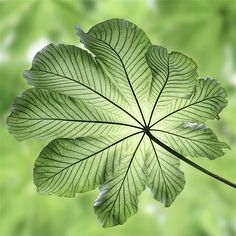 Taken in the Tobago National Rain-forest Reserve. This leaf was approx 5 feet across! by John Edwards