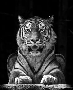 portrait of a tiger by y b, via 500px