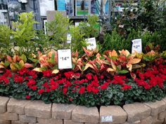 Beautiful Loweu0027s 2513 Austin Tx With Seville Farms Plants #Lowes #pansy #cyclamen  #fall #flowers #gardening #grow #bloom #Sevillefarms Idea