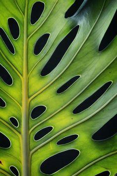Monstera Deliciosa Ed. 1 of 100 by Nadia Culph Leaf Photography, Still Life Photography, Photography Ideas, Monstera Deliciosa, Art Prints Online, Buy Art Online, Green Wall Decor, Professional Photo Lab, Walmart Photos